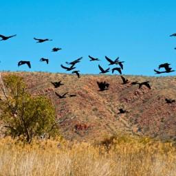 Larapinta birds