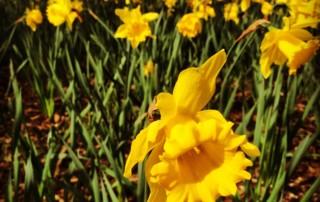 Abundance: daffodils in early spring